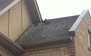 Pigeons on flat roof.